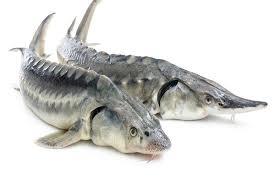 درباره انواع ماهی های خاویاری و طرز تهیه آن اطلاعاتی جمع آوری کنید علوم نهم