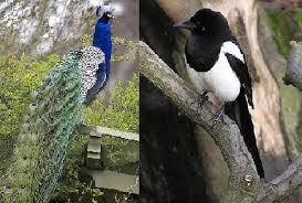حکایت طاووس و زاغی در صحن باغی به هم رسیدند